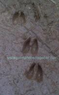 Unas huellas de ciervo en Benagéber